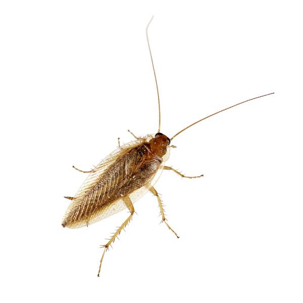 zilvervisjes kakkerlakken muizen of wespen bestrijden zuiveringsbedrijf van loon. Black Bedroom Furniture Sets. Home Design Ideas
